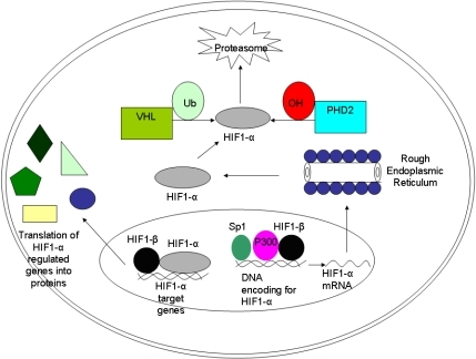 The hypoxia-inducible factor (HIF)-1 pathway. The HIF-1α gene is transcribed in the nucleus with the help of specificity protein (Sp) 1, P300, and HIF-1β. Once translated in the cytoplasm, the HIF-1α protein can either become hydroxylated and ubiquinated, in which case it will be degraded by proteasomes (under normal oxygen conditions). In the setting of hypoxia, it can re-enter the nucleus and form a transcription complex with the HIF-1β subunit. If successfully stabilized with the latter subunit, the final complex ultimately will function to regulate target genes such as vascular endothelial growth factor and cathepsin D.  Possible therapeutic intervention points are: the hydroxylation that leads to degradation of HIF-1α, the binding of HIF-1α to its coactivators, and the modulation of HIF-1α activity. Additionally, gene therapy approaches have been used to induce the overexpression of HIF or the disruption of the HIF pathway with antisense oligonucleotides. Abbreviations: PHD: proline-hydroxylase domain containing molecules; Ub: ubiquitin; VHL: von Hippel-Lindau protein.