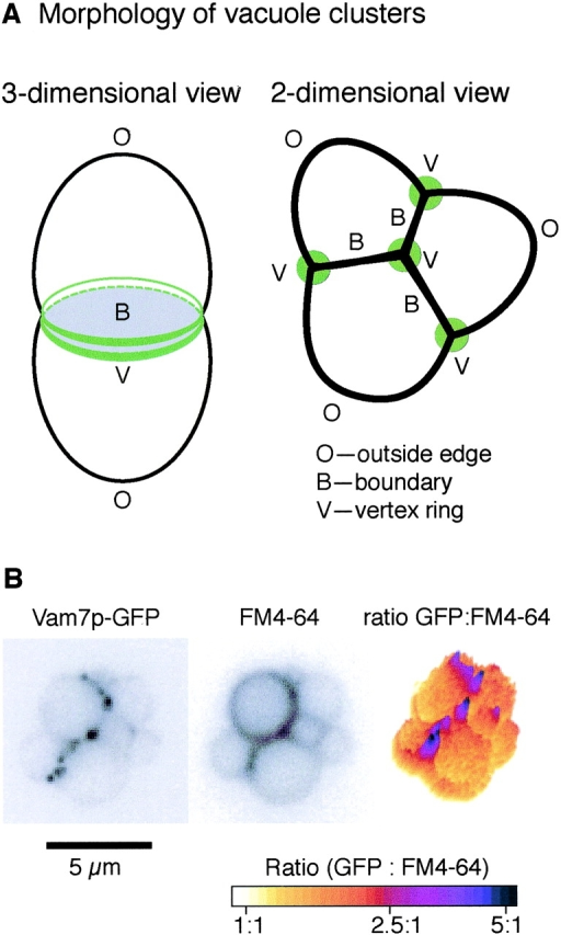 In vitro vacuole tethering. (A) A schematic of tethered vacuoles. Membrane microdomains include outside edges (O), boundary membranes (B), and vertex membranes (V). (B) Vam7p is enriched at vertices. GFP-tagged Vam7p vacuoles were tethered in vitro (see Materials and methods) and labeled with FM4–64. Images were taken in GFP (left) and rhodamine (middle) channels; ratiometric images are on the right.