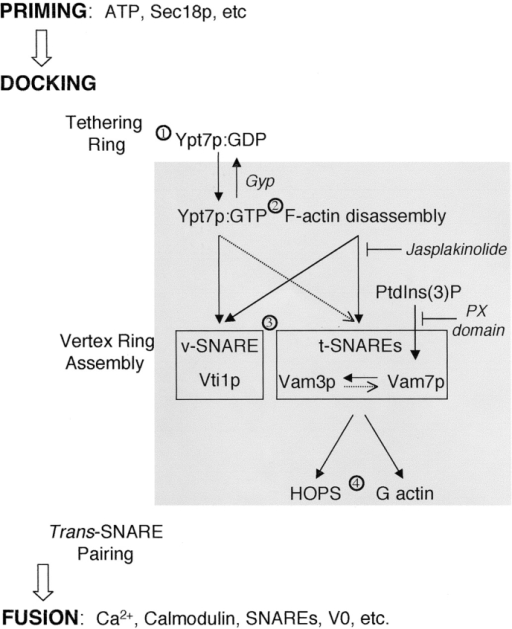 Working model of vertex ring assembly. See text for details. Solid black arrows indicate a strict hierarchical requirement for vertex enrichment. Dotted arrows indicate partial influences on vertex enrichment.