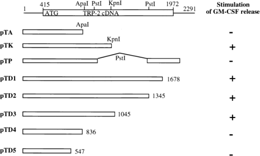 Construction of deletions and subclones of the TRP-2 gene  and T cell recognition. The full-length cDNA of TRP-2 which comprises the 1,557-bp open reading frame is shown. Nucleotides are numbered from the first nucleotide from the 5′ untranslated region of TRP-2  cDNA. A series of deletion constructs and subcloning of DNA fragments  were made. T cell recognition of each construct was determined after  coculturing CTL clone 4 with COS-7 cotransfected with the DNA fragments shown above and the HLA-A31 gene.