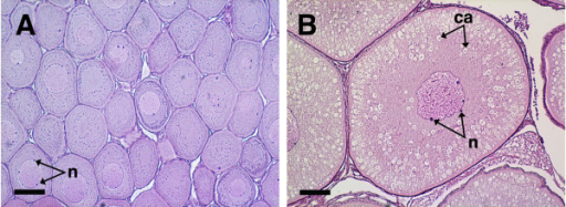 Histological sections of coho salmon ovaries with perinucleolus (A) and mid-cortical alveolus stage follicles (B). Panel A shows a representative ovary from cohort 1 fish and panel B shows a representative ovary from cohort 2 fish used for subtractive hybridization and qPCR validations. The scale bar = 100 μm in each panel; n, nucleoli; ca, cortical alveoli.