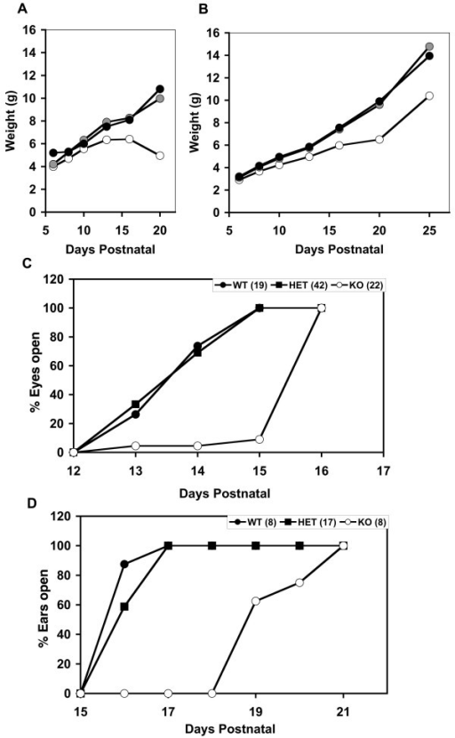 Growth defects in Nfix-/- animals. Delayed weight gain and development in Nfix-/- animals. A) Reduced weight gain in Nfix-/- animals on regular chow. The weights of progeny of Nfix-/+ parents were measured and plotted according to genotype. Note that Nfix-/- animals showed a slower weight gain from ~P6 and died at ~P22 when maintained on standard lab chow. Closed circles, WT (+/+); gray circles, Nfix-/+ (HET); open circles, Nfix-/- (KO). B) Increased weight gain of Nfix-/- animals fed a soft dough diet. The cages containing litters of Nfix-/+ parents were supplemented from P10 with soft transgenic dough. Weight gain and survival were increased substantially compared to non-supplemented litters (e.g. 2A). Symbols are as in panel A. C) Delay in eyelid opening in Nfix-/- mice. Eyelid opening was measured at various times after birth in progeny of Nfix-/+ animals. Nfix-/- animals showed an ~2 day delay in eyelid opening. Closed circles, WT (+/+); closed squares, HET (Nfix-/+); open circles, KO (Nfix-/-). The numbers following the genotype indicate the number of animals analyzed. D) Delay in ear canal opening in Nfix-/- mice. The opening of the ear canal was assessed at various times after birth in progeny of Nfix-/+ animals. Nfix-/- (KO) animals showed an ~4 day delay in ear canal opening. Symbols are as in panel C. The data in panels C and D are from an ~50% mixture of dough-supplemented and non-supplemented litters.