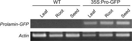 Expression of prolamin–GFP mRNA in different tissues of transgenic plants. RT-PCR analysis of the prolamin–GFP transcript in seeds, leaves, and roots of wild type (WT) and 35S:Pro-GFP plants. The bottom panel shows the expression of the actin genes as a control.