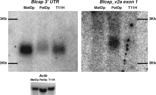 Detection of Blcap_v1a and Blcap_v2a in MatDp(dist2), PatDp(dist2) and non-UpDp (T11H) newborn brain RNA by northern hybridization. The signal obtained with an Actb probe is shown as a loading control (bottom). Left: Hybridization signal produced by the probe designed to the last Blcap exon (N1 in Fig. 1B). A single band was observed in all three lanes where the relative band intensity was highest in the MatDp(dist2) lane and lowest in the PatDp(dist2) lane. Band position and relative intensities were consistent with the known size of the major Blcap transcript Blcap_v1a (2079 bp) and overall preferential expression of Blcap from the maternal allele in newborn brain. Right: Results obtained with a probe specific to the first exon of Blcap_v2a (N2 in Fig. 1B). No band was present in the MatDp(dist2) lane. A single band was visible in the PatDp(dist2) lane. At the corresponding position in the non-UpDp lane, a very faint band was present. This indicates paternal-only expression of Blcap_v2a. The band was slightly shifted upward relative to the band obtained with the N1 probe, as is expected of the slightly larger Blcap_v2a (2258 bp). The exposure times necessary to visualize the results for Blcap_v2a were considerably longer than for the N1 probe, which is consistent with the low abundance of Blcap_v2a relative to Blcap_v1a as determined by qRT–PCR.