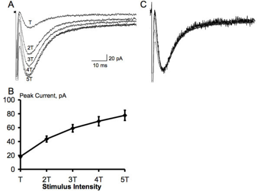 Glutamate transporter currents recorded in spinal astrocytes reflect the intensity of synaptic activation. A-B, the amplitude of glutamate transporter currents recorded in a spinal astrocyte increases as the intensity of dorsal root entry zone stimulus increases (n = 14). The current reaches the maximal amplitude with 4 or 5 times threshold (T). C, normalization of responses in A to the same amplitude shows the same time course of each response.