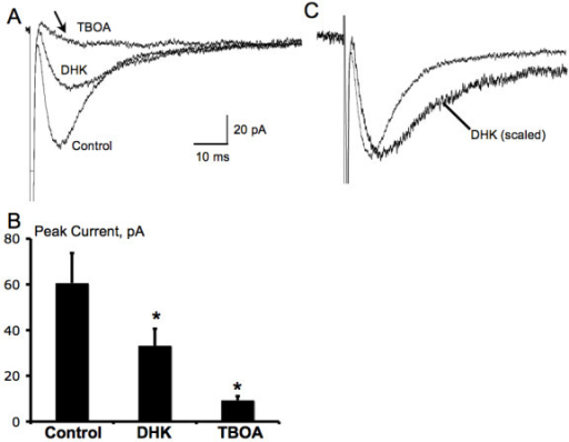 Pharmacological characterization of glutamate transporter currents in spinal astrocytes evoked through dorsal root entry zone stimulation. A-B, bath application of DHK (300 μM), a selective antagonist for glial GLT-1 glutamate transporter, partially blocked the evoked glutamate transporter current (n = 6), while TBOA, a non-selective antagonist for glial glutamate transporter, almost completely blocked the evoked glutamate transporter current (n = 15). Notice that a slow-decaying inward current (arrow) was not blocked by TBOA. *P < 0.01, DHK or TBOA vs. Control, Student's paired t-test. C, DHK slowed the decay of the glutamate transporter current, which was shown when the response in DHK was scaled to the peak of the control response (n = 6).