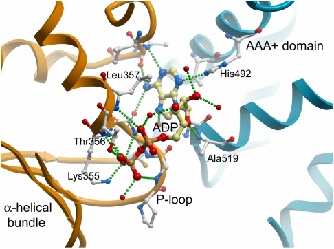 The nucleotide binding site of paraplegin.Details of side chain interactions with ADP.