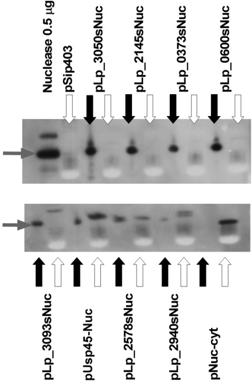 Western blots for analysis of secretion efficiency. White and black arrows indicate the cell lysate and supernatants fractions, respectively. Grey arrows indicate mature NucA. In addition to the results for eight constructs with signal peptides, the gels shows results for a construct driving cytoplasmic production of NucA (pNuc-cyt), a construct without the nucA gene (pSIP403, a construct for intracellular expression of gusA; [3]; only the cell lysate is shown for this construct) and a sample of pure mature NucA. For all the culture-derived samples, the sample size corresponded to 16 μl of the original culture harvested at an OD600 of approximately 1.7.