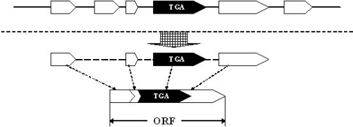 Building an ORF containing a TGA codon. The i-exon is indicated by a black arrow, and the c-exons by white arrows. An ORF containing an i-exon is formed by concatenating suitable c-exons and the i-exon.