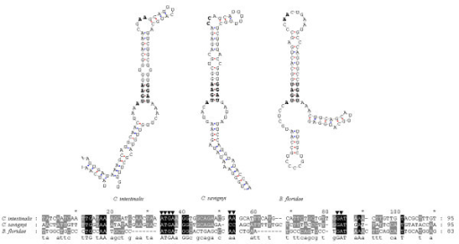 Primary sequences and secondary structures of the SECIS elements of Ciona intestinalis, Ciona savigyni and Branchiostoma floridae DsbA selenoprotein genes. Conserved functional sites are indicated by ▼.