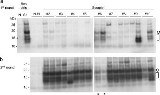Detection of endogenous PrPSc in plasma of scrapie-infected hamsters by IP-S-QuIC. (a) Plasma samples from scrapie 263K-infected and uninfected (N) hamsters (500 µl) were subjected to IP-SQ as described in Materials and Methods with the first round of S-QuIC at 50°C for 10 h and the second round (b) at 50°C for 8 h, except for lanes marked with asterisks, which show the first-round products seeded with sample no. 6 for comparison. Plasma-free positive and negative control reactions (Rxn ctrls), rPrPC23–231 substrate, and analysis of PK-digested products were as described for Fig. 1. Open circles mark 17-kDa fragments, and brackets indicate the lower-molecular-mass bands (10 to 13 kDa).