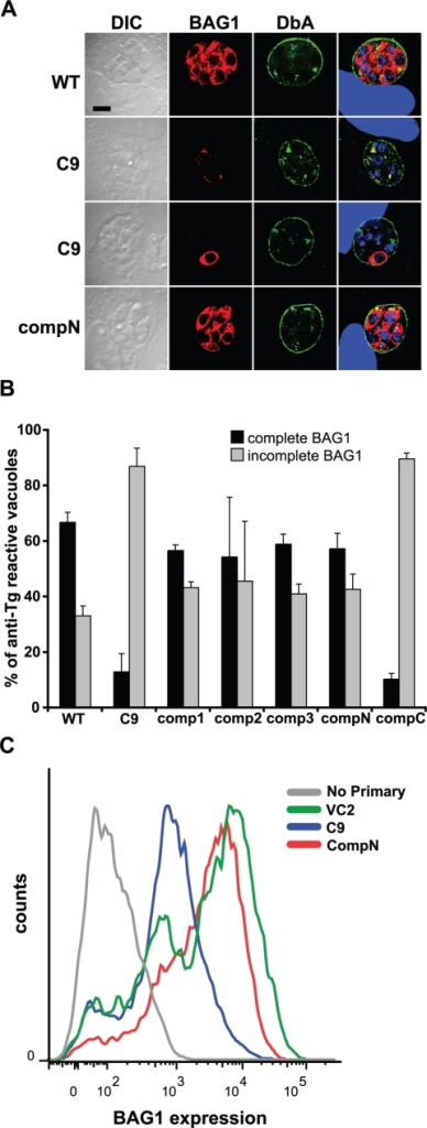 Expression of BAG1 is reduced in strain C9 bradyzoites.A. BAG1 expression and reactivity with Dolichos biflorus agglutinin (DbA) was analyzed in bradyzoites of strains PruΔHPT (WT), C9 and an amino-terminally tagged, genetically complemented strain (compN) by immunofluorescence microscopy. The left column contains differential interference contrast (DIC) images. The rightmost column contains merged images including DAPI-detection of DNA (blue). All vacuoles show surface reactivity with DbA (green) indicating bradyzoite conversion, but BAG1 expression (red) of C9 is absent, or on only some bradzoites within. B. Quantitation of BAG1 expression by fluorescence microscopy. Vacuoles reacting with mouse anti-T. gondii (Tg) serum were assessed for BAG1 expression. Those showing anti-BAG1 reactivity of all DAPI-detected bradyzoites within were scored as complete (black bars), while BAG1-negative vacuoles and those containing only some bradyzoites were scored as incomplete (gray bars), displayed as a percentage of anti-Tg reactive vacuoles. Strain C9 shows a reduction in complete BAG1 reactivity relative to WT that is increased on genetic complementation of disrupted locus TgRSC8 by plasmid pTPR17 (comp1-3). Addition of an amino-terminal HA-tag to TgRSC8 also complemented the BAG1 phenotype (compN), but placement of the tag at the carboxy-terminus does not (compC). Shown is the average and standard deviation of three independent experiments. C. Quantitation of BAG1 expression by flow cytometry. Reactivity of C9 to anti-BAG1 antiserum (blue) was compared to that of a vector control strain (VC2, green), and C9 complemented strain compN (red). Background reactivity to fluorescent-conjugated secondary antiserum in the absence of anti-BAG1 antiserum exposure is shown for strain VC2 (gray). BAG1 reactivity is indicated on the x-axis in arbitrary units, and events counted (counts) are on the y-axis. Strains were analyzed in three independent experiments, showing similar outcomes. Results of a representative experiment are shown.