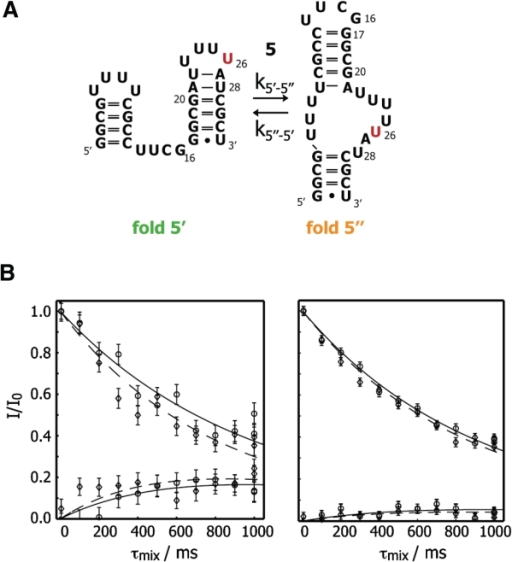 13C longitudinal exchange experiments conducted on sequence 5. (A) Interconversion between conformations 5′ and 5′′ with the uridine label highlighted in red. (B) Left panel: intensities of the corrrelation peak corresponding to conformation 5′ and exchange peak corresponding to transition 5′ → 5′′ as a function of mixing time. Right panel: correlation peak pertinent to fold 5′′ and exchange peak for the transition 5′′ → 5′. Results at 314 (316) K are depicted as circles (diamonds) and fits at 314 (316) K are shown as solid/dashed lines. Error bars were obtained on the basis of spectral noise in a Monte Carlo analysis.