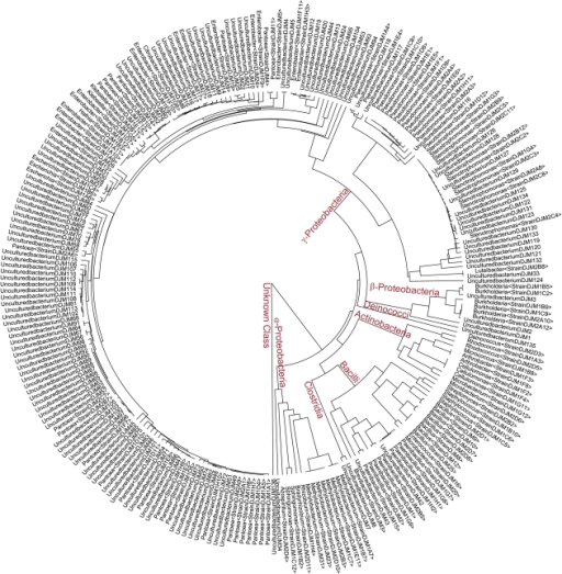 A phylogenetic tree of bacterial 16S rDNA sequences from Zea seed endophyte clones and cultured isolates.A multisequence alignment of the 16S region bounded by basepairs 867–1458 on an E. coli K12 reference sequence was used to generate a UPGMA tree. Included are sequences from clones (UnculturedbacteriumDJMX) and cultured isolates (Genus<StrainDJM-Plate#>) which are identified in Tables S2 and S3. Bacterial classes are labelled in red letters at major branch points.