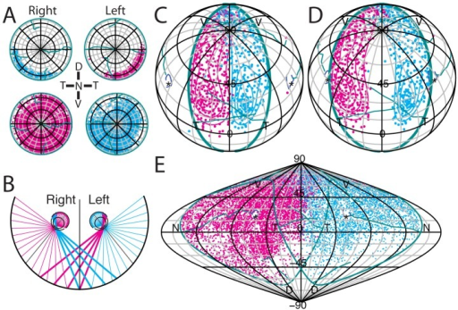 Alignment of the binocular zone in visuotopic coordinates. A,Azimuthal equilateral projections in standard retinal space of left and right retinae with ipsilateral (upper) and contralateral (lower) label resulting from bilateral injections of Fluoro-Ruby (magenta) and Fluoro-Emerald (cyan) into left and right dLGN, respectively, of the same mouse. Plots were generated from stitched 10× epifluorescent images and cell locations detected using ImageJ. For this figure, we have abandoned the convention of always plotting nasal retina to the right. B, Schematic illustrating the approximate projection of retinal space onto visual space. When the orientation of the optic axis (grey line) is optimal, the ipsilateral crescent is projected entirely to the opposite visual field. Note that due to the refraction in the lens the visual field is estimated to be 180° for each eye. C–D, Orthographic projections in central visuotopic space of the two ipsilateral retinae in A with optic axis (*) at 64° azimuth; 22° elevation (C) and with optic disc at 60° azimuth; 35° elevation (D). E, Sinusoidal projection of contralateral retinae in B with the optic axis (*) at 64° azimuth; 22° elevation. Labels N, D, T, V indicate the projection of the corresponding pole of the retina. Grid spacing is 15°.