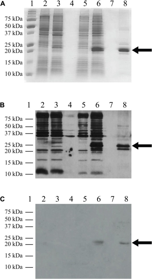 Western blot analysis. C41(DE3)pLysS transformed with the empty pET-14b vector (lanes 2 and 3) or the TM4-Cx45CT plasmid (lanes 5 and 6). Lane 8 contains the TM4-Cx45CT after purification. Lane 1 contains the Precision Plus Protein All Blue Standards molecular mass marker (Bio-Rad) and lanes 4 and 7 are blank. Samples were collected just prior to (lanes 2 and 5) and 4 h after IPTG induction (lanes 3 and 6). A total of 500 μL samples with an Abs600nm at 0.5 were pelleted and resuspended in 30 μL of 6× SDS loading buffer. Equal amounts of total protein (7 μL) were ran on a 15% SDS-PAGE gel. (A) Coomassie Blue stained gel is shown as a reference. Western blot analyses were performed using either (B) anti-His6, or (C) anti-Cx45 primary antibodies. The expected molecular mass of the TM4-Cx45CT is ~22 kDa, which is indicated by the arrow. Of note, in (B) lane 8, the anti-His6 primary antibody also reacted with a ~20 Da protein. Although not present in the (A) 15% SDS-PAGE gel or reactive with the (C) anti-Cx45 primary antibody, we speculate the doublet is caused by proteolysis of the TM4-Cx45CT.