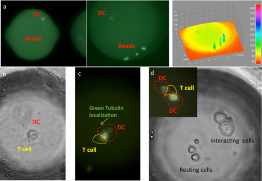 (a) DCs and bead-based sensors and reagents co-encapsulated in nano-liter reaction droplet containing anti-CD86 fluorescently tagged Abs for cell surface analysis. 1,2. Fluorescence images of droplets captured on a Zeiss 200 Axiovert microscope (a1 × 20 and a2 × 40) after 2 hours and 20 min of incubation. 3. The intensity of the fluorescence recorded for both CD86 protein and IL-6 detection measured using ImageJ software (the fluorescence intensity scale is present on the right). (b, c, d) Physical interaction and the polymerization of tubulin in live DCs that encountered a T cell and establishing signaling zone.