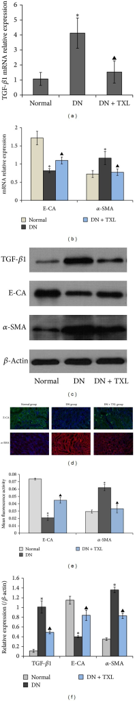 Effects of TXL on the expressions of TGF-β1, E-CA, and α-SMA in renal tissues of KK-Ay mice. (a) mRNA expression of TGF-β1 was determined by RT-PCR with β-actin as an internal control. (b) mRNA expressions of E-CA and α-SMA were determined by RT-PCR with β-actin as an internal control. (c) Representative bands of TGF-β1, E-CA, and α-SMA detected by western blot. (d) Representative immunofluorescence staining photographs of E-CA and α-SMA, visualized by confocal microscope. Images are shown at 20x. (e) Mean fluorescence activity of E-CA and α-SMA analyzed by image-pro plus 6.0 software. (f) Densitometry analysis of TGF-β1, E-CA, and α-SMA bands from (c), normalized to β-actin.
