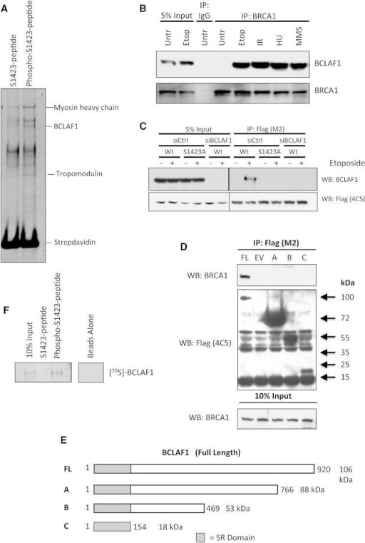 BCLAF1 Interacts with Phosphorylated BRCA1 following DNA Damage(A) Colloidal Coomassie-stained gel of peptide pull-down assays carried out from 293T cell nuclear extracts with phosphorylated BRCA1-S1423 peptide and its nonphosphorylated counterpart. The indicated phosphopeptide-interacting band was identified as BCLAF1 by LC-MS/MS.(B) Coimmunoprecipitation assay demonstrating an interaction between BRCA1 and BCLAF1 in 293T cells treated with etoposide (1 μM, 16 hr), IR (2 Gy, 1 hr), MMS (200 μM, 6 hr), and HU (5 μM, 3 hr).(C) Coimmunoprecipitation assay demonstrating DNA damage-induced interaction of BCLAF1 with ectopic Flag-BRCA1 is abrogated by BRCA1-S1423A phosphosite substitution. A Flag-BRCA1 IP was also carried out from cells depleted of BCLAF1 to confirm the specificity of the BCLAF1 antibody.(D) Mapping of the BRCA1-interacting region within BCLAF1. Coimmunoprecipitation experiments were carried out from etoposide-treated cells transfected with the Flag-BCLAF1 truncation mutant constructs depicted in (E).(E) Schematic diagram of BCLAF1 truncation constructs used for BRCA1 coimmunoprecipitation experiments in (D).(F) Peptide pull-down assays carried out with [35S] in vitro-translated BCLAF1, indicating that BCLAF1 interacts directly and specifically with the phosphorylated BRCA1-S1423 peptide and not its unphosphorylated counterpart. See also Figure S1.