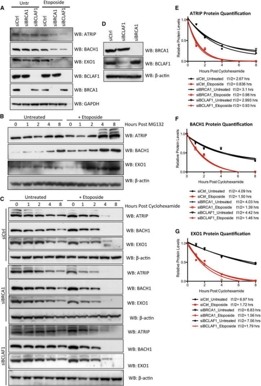 BRCA1/BCLAF1-Mediated mRNA Splicing Is Required for Maintenance of ATRIP, BACH1, and EXO1 Protein Expression(A) Representative western blots demonstrating that depletion of either BRCA1 or BCLAF1 results in downregulated expression of ATRIP, BACH1, and EXO1 proteins in response to DNA damage.(B) Representative western blot demonstrating DNA damage-dependent accumulation of ATRIP, BACH1, and EXO1 proteins over time following inhibition of proteosomal mediated protein degradation with MG132 (10 μM). Cells were mock treated or treated with etoposide (1 μM) for 30 min prior to MG132 treatment.(C) Representative western blots demonstrating DNA damage-dependent increased protein turnover in control and BRCA1- or BCLAF1-depleted cells following inhibition of protein translation with Cyclohexamide (10 μg/mL). Cells were mock treated or treated with etoposide (1 μM) for 30 min prior to Cyclohexamide treatment.(D) Representative western blots demonstrating BRCA1 and BCLAF depletion in cells used for experiments shown in (C).(E–G) Quantification of ATRIP, BACH1, and EXO1 protein levels shown in (C). Image densitometry values were normalized to 0 hr and decay curves fitted and used to calculate protein half-lives.