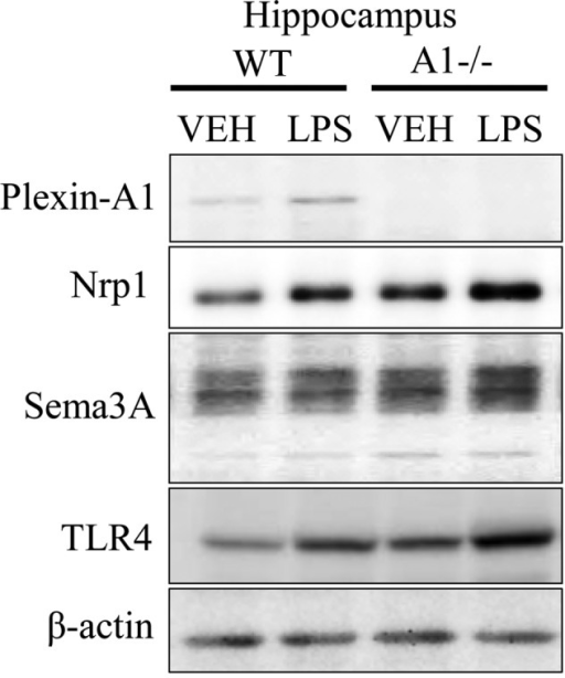 Expression of Plexin-A1, Neuropilin-1, Sema3A, and TLR4 in hippocampus of WT and Plexin-A1−/− mice administered lipopolysaccharide. WT or Plexin-A1−/− mice were subjected to lateral ventricular injection with saline or lipopolysaccharide (LPS; 200 μg/kg). Western blotting detected Plexin-A1, Neuropilin-1, Sema3A, and TLR4 in the mouse hippocampus in all experimental conditions except for Plexin-A1 in the Plexin-A1−/− hippocampus. Nrp1, Neuropilin-1; TLR4, Toll-like receptor 4; VEH, vehicle (saline); LPS, lipopolysaccharide; WT, wild-type; A1−/−, Plexin-A1−/−.
