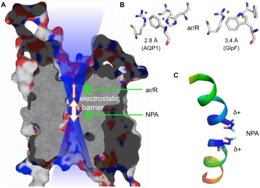 Protein structure of an AQP monomer. (A) Slab of AQP1 showing the channel and the two constriction sites. The positive electrostatic field emanating from the channel is symbolized by the blue transparent shading. (B) Typical amino acid composition of the ar/R region in a water specific AQP (here AQP1; PDB #1J4N; Borgnia et al., 1999) and an aquaglyceroporin (here Escherichia coli GlpF; PDB #1FX8; Fu et al., 2000). (C) Half helices B and E with the capping asparagine residues residing at the positive helix ends.