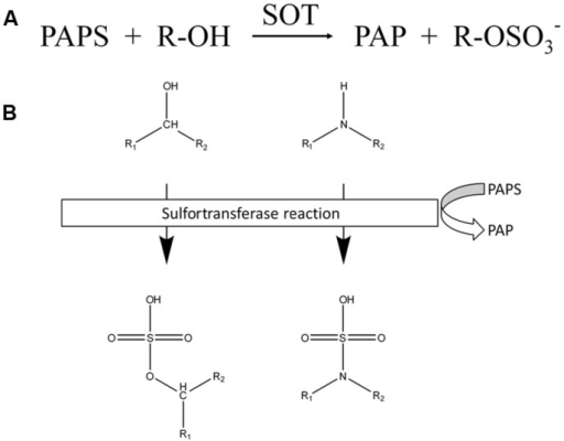Reactions catalyzed by SOTs. (A) Chemical equation of reactions catalyzed by SOTs. (B) Schematic overview of SOT targets. Chemical structure of targeted hydroxyl and amide groups and their sulfated products, sulfate ester and the sulfamate group.