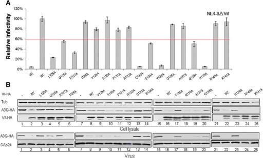 Effects of Vif mutations in the region from amino acid 124-141 on the antiviral activity of A3G. (A) Effects of WT and mutant Vif proteins on A3G antiviral activity. HIV-1 viruses were produced by transfecting HEK293T cells with NL4-3ΔVif and A3G along with VR1012 as a control vector or WT or various Vif mutants as indicated. Virus infectivity was assessed using MAGI indicator cells, with the virus infectivity in the presence of WT Vif set to 100%. Error bars represent the standard deviation from triplicate wells. (B) Effects of WT and mutant Vif proteins on A3G degradation and virion packaging. A3G expression was assessed by Western blotting against A3G-HA, Vif-HA and tubulin as loading control. A3G packaging was evaluated by Western blotting against A3G-HA and CAp24 after virus was purified from the cell culture supernatant.