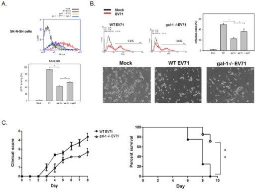 Galectin-1-/- EV71 shows less cellular binding, infectivity, mice neurological syndromes, and mortality.(A) Galectin-1-/- EV71 viruses reduce their cell binding activity. SK-N-SH cells were incubated with WT, galectin-1 -/- EV71 or galectin-1 -/- EV71 viruses with recombinant galectin-1 (25 ng/ml) at 4°C (MOI = 100) for 3 h. The surface-bound EV71 was detected by anti-EV71 antibody and hence analyzed by flow cytometry. *p<0.05 by one-way ANOVA followed by Tukey correction.(B) Galectin-1-/- EV71 viruses show lower infectivity than WT viruses. SK-N-SH cells were infected with WT, galectin-1 -/- EV71 or galectin-1 -/- EV71 viruses with recombinant galectin-1 (25 ng/ml) at 37°C (MOI = 0.5) for 12 h. The EV71-infected cells were analyzed by anti-EV71 antibody via flow cytometry. The virus-induced cytopathic effect was monitored under a microscope. *p<0.05 by one-way ANOVA followed by Tukey correction.(C) Galectin-1-/- EV71 viruses cause less neurological syndromes and mortality in mice. One week-old C56BL/6 mice were infected with 106 PFU of WT (n = 7) or galectin-1 -/- EV71 (n = 6) by intraperitoneal injection. The clinical scores and survival rate were monitored daily post-infection. ** p<0.01 by the log-rank (Mantel-Cox) test. Results are representative of two (A, B) or three (C) independent experiments.