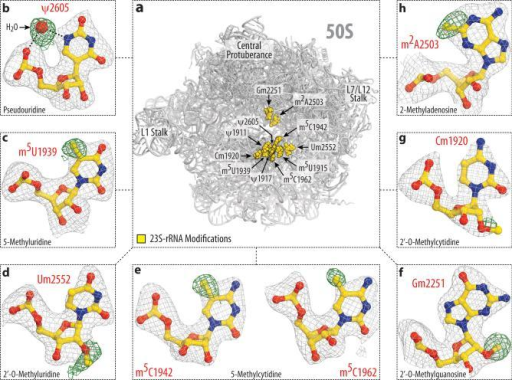 Modeling of rRNA modifications of the 50S subunit(a) Spatial distribution of modified nucleotides in the structure of the large ribosomal subunit from T. thermophilus. Panels (b-h) show unbiased difference Fo-Fc electron density maps for eight types of modifications present in 23S rRNA. The color scheme is the same as in Fig.1. The modifications shown are: (b) pseudouridine 2605, (c) 5-methyluridine 1939, (d) 2'-O-methyluridine 2552, (e) 5-methylcytidines 1942 and 1962, (f) 2'-O-methylguanosine 2251; (g) 2'-O-methylcytidine 1920, (h) 2-methyladenosine 2503.