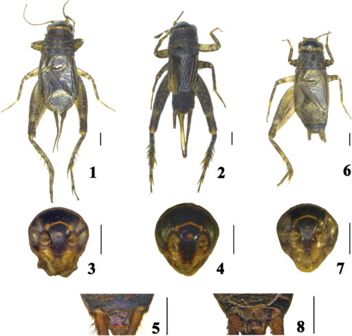 Comidoblemmus spp. 1–5Comidoblemmussororius sp. n. (1, 3, 5 male; 2, 4 female) 6–8Comidoblemmusexcavatus sp. n. (male): 1, 2, 6 habitus, dorsal view 3, 4, 7 head, frontal view; 5, 8 supra anal plate, dorsal view. Scale bars: 1.0 mm.