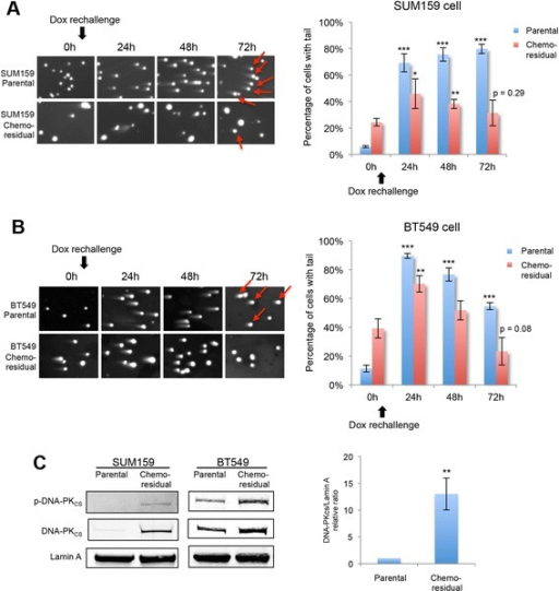 Chemo-residual tumor cells exhibit higher DNA repair capability and increased expression/phosphorylation of DNA-dependent protein kinase (DNA-PKCS). aLeft panel: SUM159 chemo-residual cells and parental (untreated) cells were re-challenged with doxorubicin (Dox) (1 μg/ml) for 3 h. Fresh medium was added after chemotherapy removal. DNA damage at sequential time points after chemotherapy treatment was analyzed by neutral comet assay. Representative images are shown at each time point. Cells scored as comet tail-positive are indicated with red arrows in the 72-h (72h) time frame. Right panel: the percentage of cells with comet tails at the indicated time points was quantified with a fluorescence microscope. Error bars represent SD, n = 3 fields. Significance of data points at 24h, 48h and 72 h was determined relative to data reported at 0h for the indicated cell population (*p <0.05, **p <0.01, ***p <0.001, two-tailed Student's t test). Cells scored as comet tail-positive are indicated with red arrows in the 72h time frame. b.Left panel: BT549 chemo-residual cells and parental (untreated) cells were challenged with Dox (0.5 μg/ml) for 4 h. DNA damage was assessed at the indicated times using the neutral comet assay as in a. Right panel: the percentage of cells with comet tails at the indicated time points was quantified as in a. Cells scored as comet tail-positive are indicated with red arrows in the 72h time frame. cLeft and middle panel: SUM159 cells (left) and BT549 cells (middle) were treated with Dox as described in Fig. 1a. Nuclear protein from parental and chemo-residual cells was extracted. Equivalent amounts were immunoblotted with phospho (Ser 2056)-DNA-PKCS, DNA-PKCS or Lamin A antibody. Right panel: protein bands from three independent trials (SUM159 cells treated with Dox as described in Fig. 1a) were quantified, and the relative ratio of DNA-PKCS to loading control is shown. Error bars represent SD, n = 3, **p <0.01, two-tailed Student's t test