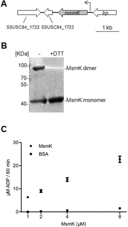 MsmK is an ATPase.(A) Genetic map of the loci encoding predicated carbohydrate ATPase, MsmK, in SC84. Large arrows represent open reading frames and their direction of transcription. Small arrow indicates the promoter of the gene msmK and its transcription direction. (B) SDS-PAGE of purified recombinant protein MsmK. Before electrophoresis, the proteins were exposed to no DTT (left lane,-) or 2 mM DTT (right lane, +DTT). Purified MsmK was formed by a certain amount of monomers (42 KDa) and dimmers (~80 KDa). (C) ATPase activity of MsmK. Protein was incubated with 1 mM ATP for 60 min, and the generation of ADP was quantified. The mixture with BSA protein was used as a negative control. Data represent the average ± SD of at least three independent repeats.