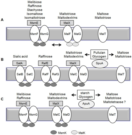 Schematic summary of carbohydrates utilization by ABC transporters in S. mutans (A), S. pneumoniae (B) and S. suis (C).Above each ABC complexes is a list of known or putative carbohydrates transported by each ABC transporter. Bidirectional arrow means the MsmK and MalK ATPases can energize permeases interactively. Unidirectional arrows mean the degradation of pullulan and glycogen by pullulanases SpuA or ApuA.