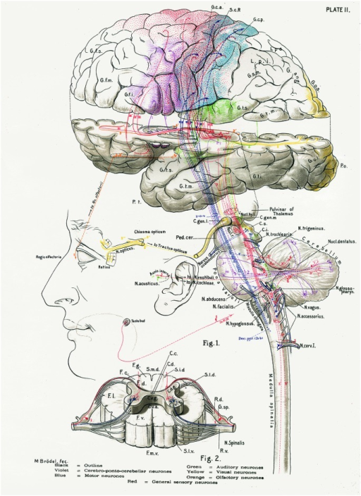 The central nervous system works as a whole. Schematic drawing by Barker (1899) to illustrate some of the multiple relationships between different parts of the central nervous system. Taken from DeFelipe (2014).