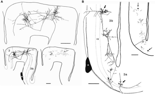 Axonal arborizations of cortico-cortical cells in monkey sensory-motor cortex. These neurons were labeled after small extracellular injections of horseradish peroxidase into a stratum of corticocortical axons situated in the white matter immediately deep to area 3b (asterisks). (A) Retrogradely labeled corticocortical cell with soma (arrow) in area 1, a minor collateral to area 3b, dense boutonal clusters in areas 1 and 2, and major collaterals apparently continuing on toward area 5. (B) Retrogradely labeled corticocortical cells with somata (arrows) in areas 3b and 3a and focused concentrations of boutons in each area. The boutonal plots were produced from high-magnification drawings of the full collateral ramifications. Each dot indicates one bouton. Bar, 500 μm. Taken from DeFelipe et al. (1986).