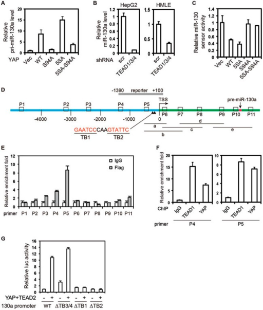 miR-130a is a direct target gene of YAP-TEAD. (A) YAP induces miR-130a expression in an S94-dependent manner. pri-miR-130a expression levels in indicated MCF10A stable cells were determined by quantitative RT-PCR. Experiments were performed in triplicates. (B) Knockdown of TEADs reduces miR-130a level. Cells were infected with the shRNA targeting TEAD1/3/4. The levels of mature miR-130a were determined. Experiments were performed in triplicates. (C) YAP represses miR-130a sensor activity in an S94-dependent manner. HepG2 cells were transfected with miR-130a sensor and YAP WT or mutants for luciferase assay. Experiments were performed in duplicates. (D)miR-130a genomic structure. miR-130a promoter is in blue, pri-miR-130a encoding region is in green, and pre-miR-130a encoding region is in red. Regions amplified by ChIP-PCR primers are labeled as P1 to P11. Regions amplified by primers used in RT-PCR confirmation of TSS are labeled as a-e. The proximal promoter cloned for luciferase reporter is indicated. (E, F) YAP and TEAD bind to the proximal promoter of miR-130a. HepG2 cells expressing Flag-YAP-5SA (E) or native HepG2 cells (F) were processed for ChIP with control IgG or antibodies against TEAD1 and YAP followed by quantitative PCR. Experiments were performed in duplicates. (G) YAP activates miR-130a promoter reporter in a TEAD-dependent manner. WT or mutant miR-130a reporters were transfected with or without YAP and TEAD2 into HEK293T cells for luciferase assay. Experiments were performed in duplicates.