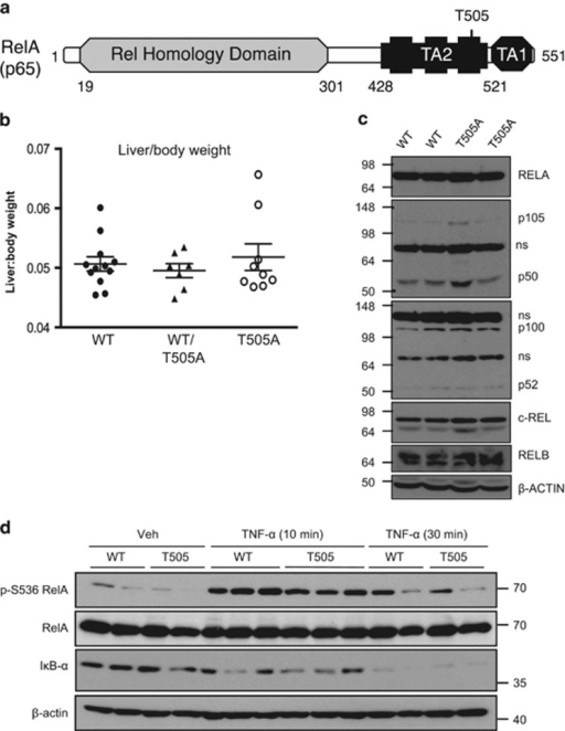 The phenotype of RelA T505A mice. (a) Schematic diagram of RelA showing the location of the Thr505 residue in transactivation domain 2. (b) Liver body weight ratio of wild type (WT), WT/T505A and T505A 12-week-old littermate mice. WT, n=4 males, 8 females; WT/T505A, n=2 males, 5 females; T505A, n=4 males, 5 females. Data represent mean±s.e.m. (c) Western blots showing relative levels of NF-κB subunits in WT and RelA T505A mice. (d) Western blot analysis of phospho-S536 RelA, RelA, IκB-α and β-actin from WT and RelA T505A hepatocytes. Hepatocytes were cultured in 0% FBS media and treated with 50 ng/ml of TNF-α for 10 or 30 min before preparation of cell lysates. Lanes represent independent experimental replicates from a single hepatocyte isolation. These results are representative of data from three separate hepatocyte preparations. In this and subsequent experiments, all mice were designated to an experimental group dependent on their strain. NS, not significant.