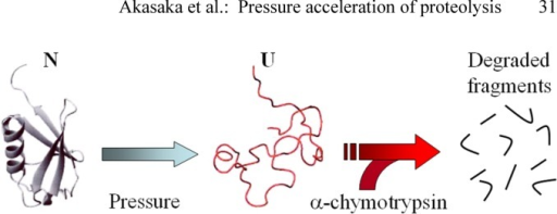 General mechanism for pressure enhancement of enzymatic proteolysis of a globular protein. Pressure shifts the population from N to U according to eq. 1 and U is subsequently degraded by an proteolytic enzyme, e.g. α-chymotrypsin under pressure.
