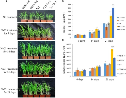 Salt tolerance of SiLTP-OE and RNAi foxtail millet seedlings. The phenotypes of transgenic foxtail millet under a 100 mM NaCl treatment (A). Proline contents (B) and soluble sugar contents (C) were analyzed in WT and transgenic plants after watering for 14 and 21 days with NaCl, respectively. ∗, ∗∗, and ∗∗∗ indicate statistically significant differences at P < 0.05, P < 0.01, and P < 0.001 (Student's t-test), respectively.