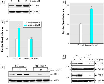 the significance of controlling the gene responsible for apoptosis phenomenon in age control Ar primarily is responsible for  control of ar transcription but also age-dependent  androgen receptor gene is related to age at.