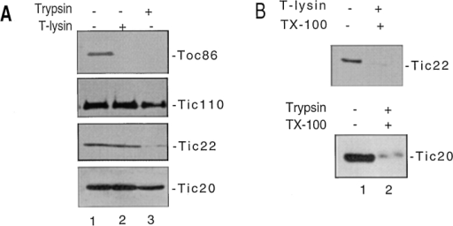 Protease sensitivity of  Tic20 and Tic22 in intact chloroplasts. Chloroplasts equivalent to  2 mg of chlorophyll were treated  with 200 μg/ml thermolysin or  trypsin on ice for 30 min. The chloroplasts were reisolated through  Percoll silica gel, lysed, and then  subfractionated by flotation into sucrose gradients. Fractions corresponding to envelope membranes  were pooled and analyzed by SDS/ PAGE. (A) Immunoblot of SDS-PAGE resolved envelope polypeptides from chloroplasts incubated in  the absence (−T-lysin) or presence  (+T-lysin) of thermolysin or the  absence (−Trypsin) or presence  (+Trypsin) of trypsin with anti-Toc86, anti-Tic110, anti-Tic20, and anti-Tic22 sera. Each lane contains 50 μg of protein. (B) Immunoblot of chloroplast envelopes with  anti-Tic20 or Tic22 serum after treatment of membranes in the absence or presence of trypsin or thermolysin and the absence (−TX-100) or presence (+TX-100) of Triton X-100. Right, positions of the Toc and Tic components.