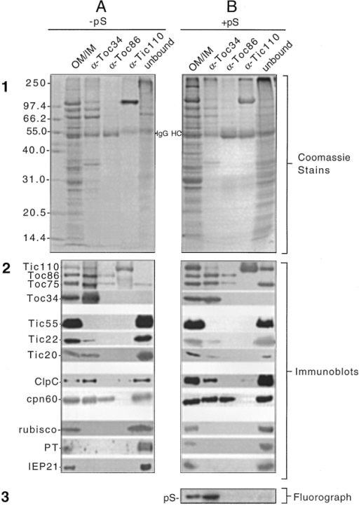 Sequential immunoaffinity chromatography  of solubilized chloroplast envelope membranes. Isolated  mixed outer and inner chloroplast envelope membranes  (OM/IM) (100 μg of protein)  from untreated chloroplasts  or chloroplasts that had been  cross-linked to 400 nM pS-1  in the presence of 0.1 mM  ATP and GTP were dissolved in TES buffer containing 1% Triton X-100, clarified by centrifugation, and  sequentially passed over anti-Toc34 Sepharose (α-Toc34),  anti-Toc86 Sepharose  (α-Toc86), and anti-Tic110  Sepharose (α-Tic110). The  eluates and unbound (unbound) fractions were resolved by SDS-PAGE. The  resolved polypeptides were  visualized directly by Coomassie blue staining (A1 and  B1), immunoblotting with antisera to chloroplast proteins  as indicated (A2 and B2), or  analyzed by phosphorimaging (B3). The immunoblots in  A2 and B2 were performed  with Toc or Tic antisera as indicated and with antisera to  ClpC, cpn60, triose phosphate-phosphate translocator (PT), a 21-kD inner envelope membrane protein  (IEP21), and the small subunit of rubisco (rubisco). The  position of the heavy chain of  IgG (IgG HC) that dissociates from IgG Sepharose during chromatography is indicated between A1 and B1.