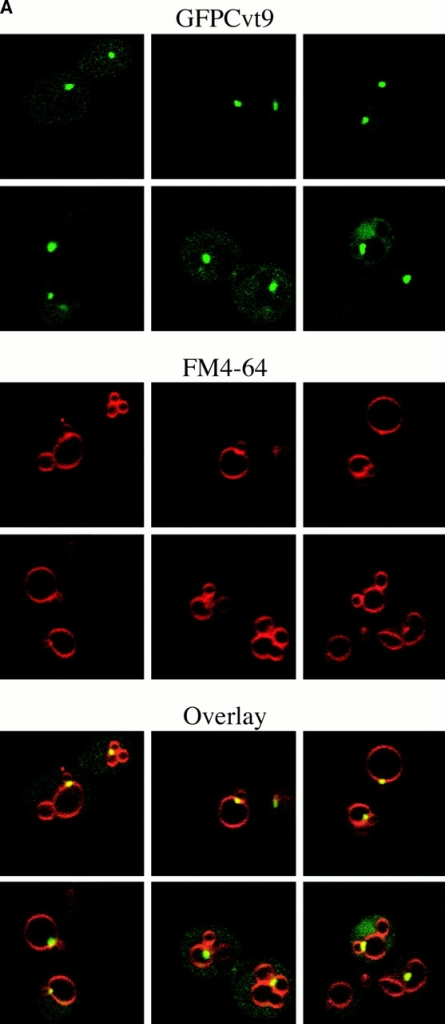 Cvt9 is localized to a perivacuolar compartment. (A) Localization pattern of GFPCvt9. The cvt9Δ (AHY001) strain was transformed with a plasmid encoding a GFPCvt9 fusion protein behind the CUP1 promoter (pCuGFPCVT9). Expression of GFPCvt9 was induced with 10 μM CuSO4 for 2 h, followed by labeling of the vacuoles with FM 4-64 (see Materials and Methods). Images were taken with a Leica IRM confocal microscope. GFPCvt9 mostly localizes to intense perivacuolar, punctate structures. (B and C) Subcellular localization of Cvt9 by Optiprep density gradients. The cvt9Δ strain was transformed with pCuCVT9(416) and incubated with 50 μM CuSO4 at midlog growth stage to induce Cvt9 expression. The cells were converted to spheroplasts and lysed in gradient lysis buffer (see Materials and Methods). A total membrane fraction was isolated by centrifugation at 100,000 g for 20 min and loaded to the top of a 10-ml Optiprep linear gradient (0–66%). After centrifugation at 100,000 g for 16 h at 4°C, 14 fractions were collected and analyzed by immunoblots with antiserum or antibodies to Cvt9 and (B) Pho8 (vacuole), (C) Dpm1 (ER), Kex2 (trans-Golgi Network), and Pep12 (endosome). The immunoblots and the graphs of the densitometry quantitation are from the same gradient but presented separately for clarity.