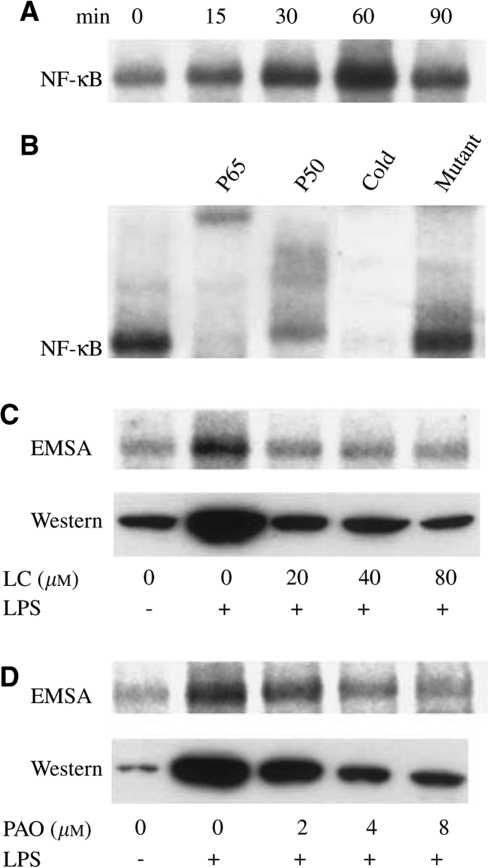 Effect of lactacystin and PAO on nuclear NF-κB expression and binding activity in hypoxic EMT-6 cells. (A) Cultures were exposed to 0.1 μg ml−1LPS in 1% oxygen for 0–90 min and afterwards analysed for the binding activity of NF-κB in nuclear extracts by EMSA. (B) An analysis of the NF-κB composition was performed using anti-p65 and anti-p50 antibodies. The specificity of NF-κB binding was confirmed by inclusion of unlabelled (cold) NF-κB consensus and its mutant in the binding reactions. (C, D) The effect of a 3 h pretreatment with lactacystin (LC) and a 10 min pretreatment with PAO on the expression and binding activity of NF-κB was evaluated after a 60 min exposure to 0.1 μg ml−1 LPS. The figure is representative of three independent experiments.