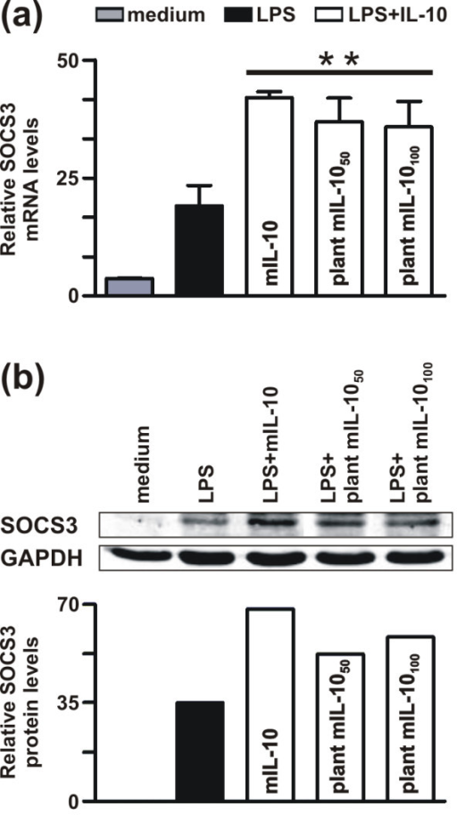Effect of plant-derived murine IL-10 on LPS-induced SOCS3 mRNA and SOCS3 protein expression. (a) J774 cells were stimulated for 2 h with 100 ng/ml of LPS alone or in combination with commercial mIL-10 (20 ng/ml), or plant mIL-10 (50 and 100 ng/ml). Non stimulated cells ('medium') were included in the analysis to determine SOCS3 basal expression levels. Total RNA was extracted and then analyzed for SOCS3 mRNA expression by real time RT-PCR. The graph shows the SOCS3 mRNA levels (mean ± SD) assayed in triplicate and normalized to GAPDH expression. (b) J774 cells were incubated for 18 h in the presence of LPS alone (lane 2) or in combination with 20 ng/ml commercial IL-10 (lane 3) or 50 ng/ml (lane 4) or 100 ng/ml (lane 5) plant derived mIL-10. Non stimulated cells ('medium') were included in the analysis to determine SOCS3 basal expression levels. Whole cell extracts (50 μg) were immunoblotted using anti-NH2 terminus SOCS3 antibody (upper panel) and antibodies specific for GAPDH (lower panel), followed by incubation with AlexaFluor 680 goat anti-rabbit and IRDye 800 goat anti-mouse antibody. The relative levels of SOCS3 protein, as quantified by the Odyssey software and normalized for the total GAPDH content, are reported at the bottom of each lane. The data shown in (a) and (b) are representative of two independent experiments. ** p < 0.001.