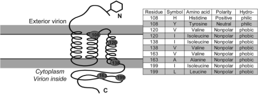 Diagram of membrane protein containing 3 transmembrane helices, an external N terminus and an internal carboxy terminus. Approximate position of 5 variable diagnostic amino acid sites (see Table 2) as determined by sequence comparison to severe acute respiratory syndrome coronavirus (32). Amino acid residue, polarity, and hydrophobicity or hydropholicity is stated.