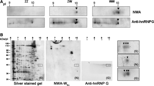 Interaction of the P. waltl hnRNP G isoforms with the WEc RNA. (A) 2D-NWA of the 32P-labelled RNA WEc probe with nuclear proteins from ZZ, ZW and WW GVs, followed by immunodetection using the anti-hnRNP G serum. Note that the homologues of hnRNPG formed a train of basic spots ranging from pI 9 to 10 with two major spots at pI 10. The most basic spot corresponded to the one detected by NWA in ZW and WW GVs. (B) An example of isoelectrofocusing of the protein extracts of the ZW GVs showing three spots of hnRNP G at pI 10 (arrowheads) in the silver stained gel (S). Note that only one spot was visible in the northwestern blot (N).