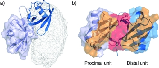 Comparison between the crystal structure of Lys48-linked di-ubiquitin and the ensemble structure of ubiquitin noncovalent dimer; a) the proximal unit (purple surface) of the di-ubiquitin crystal structure3a is superimposed to one subunit in the ensemble structure of the noncovalent dimer; the distal unit is shown as blue cartoon. The noncovalent dimer is represented the same way as in Figure 3; b) colored in orange, a large portion of the noncovalent dimer interface becomes exposed in Lys48-linked di-ubiquitin. The covalent dimer interface is colored in red.