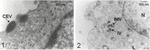 "Electron micrographs of cells infected with Passatempo virus. Vero cells were infected with Passatempo virus at a multiplicity of infection of 5 and fixed by OsO4, 24 hours after inoculation. 1, typical orthopoxvirus ""brick-shaped"" morphologic pattern, with biconcave core and outer membranes were observed in cell-associated enveloped virus (CEV); 2, intracelullar mature virions (IMV) were visualized in the cytoplasm of infected cells within virosomes with the presence of spheric immature virus (IV). No A-type inclusion body (ATI) was visualized in infected cells. N, nucleus. Bars, 500 nm."